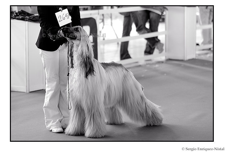 Afghan Hound in a Dog Beauty Contest