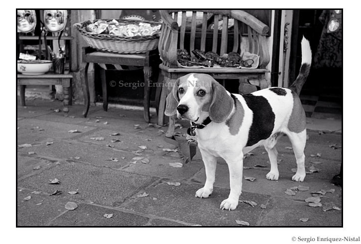 Beagle in Venice The Snoopy Dog