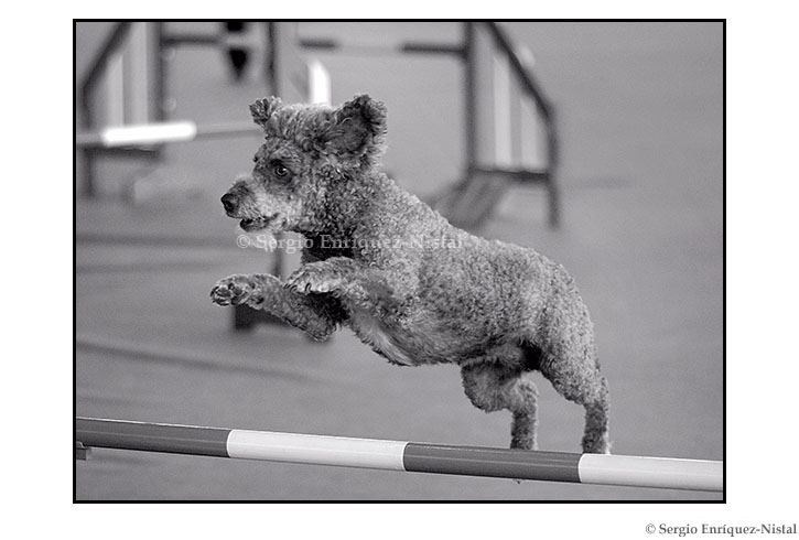 Dog Jumping in a Dog Agility Show