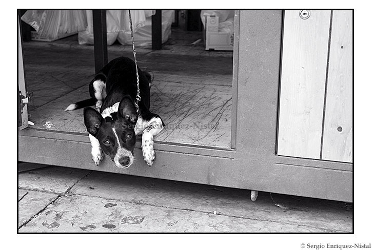 Portrait of a Dog Verona Italy