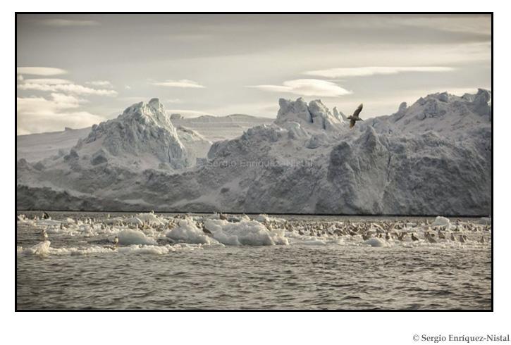 Sled Dog, Ilulissat, Greenland